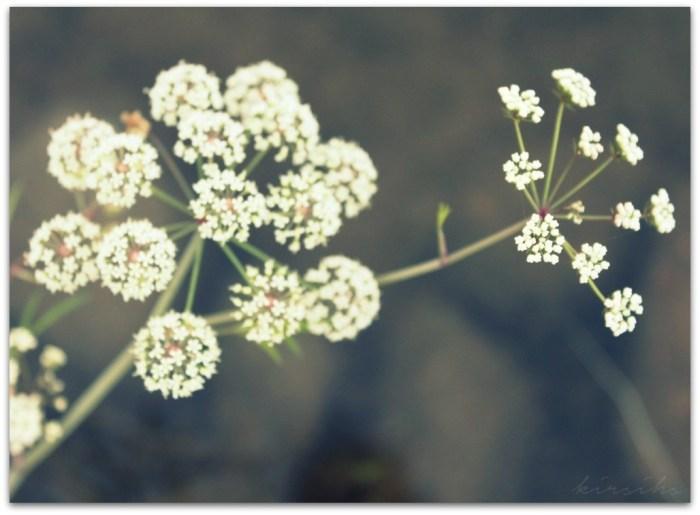 104 vuohenputki kirsihs ©kirsihallaseppala