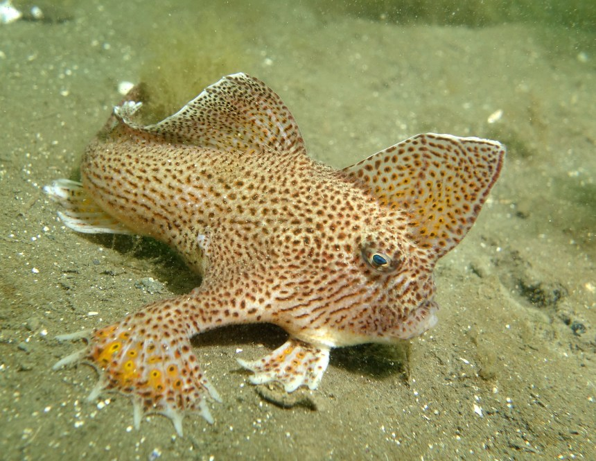 A spotted handfish on the sandy sea floor, looking frowny