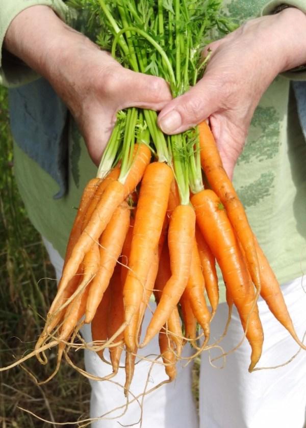 gulerødder i hånd