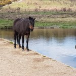A New Forest Pony