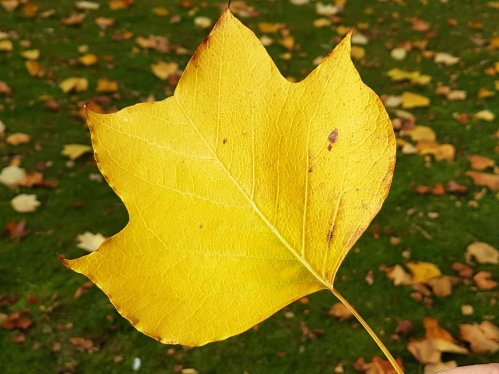 A leaf of Liriodendron tulipifera, in Autumn.