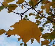 Leaves of Liriodendron tulipifera in an Autumn breeze.