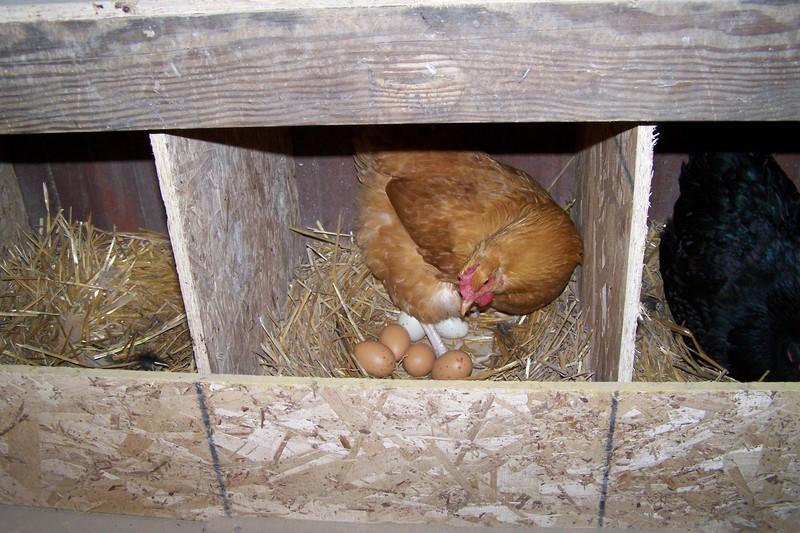ahol a tojásférgek tojnak)