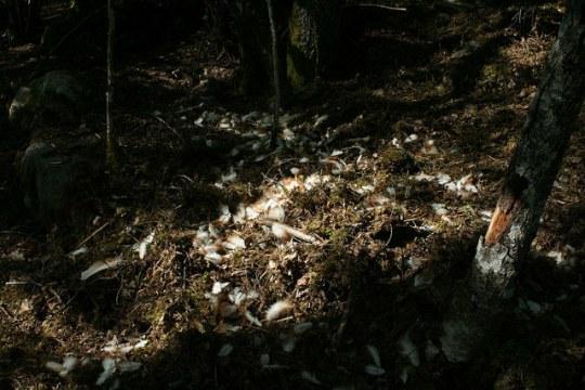 Rókatámadás nyomai egy csirkeólban (forrás: Guttorm Flatabo / Flickr.com)