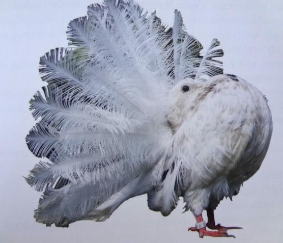 Selyem páva galamb