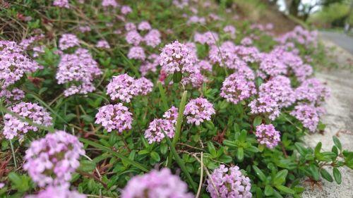 散歩中の花壇アリッサム
