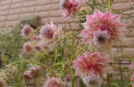 セルリアの花