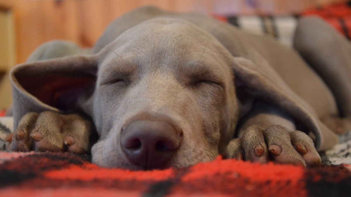 dog sleeping - Kiss Dog Training