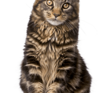 mainecoon_w800_h600_fit
