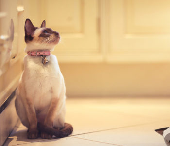 Siamese cat, chocolate point sitting in cream coloured kitchen.