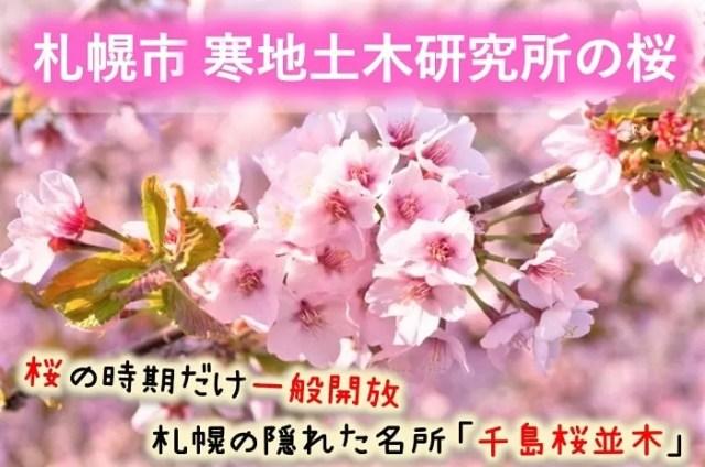札幌市寒地土木研究所の千島桜並木