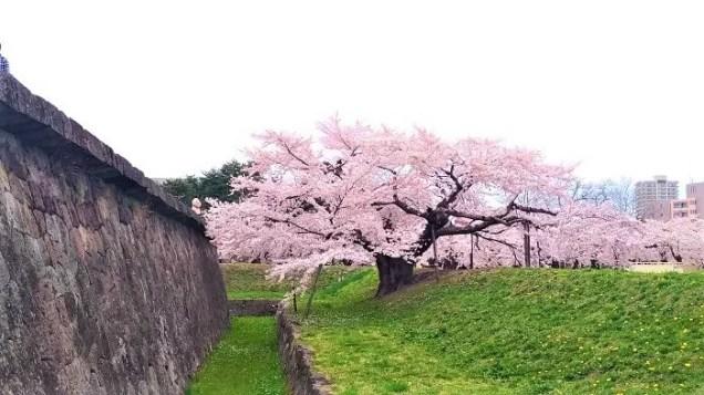 五稜郭公園の一本桜