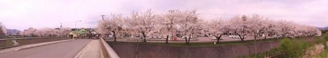 亀田川の桜