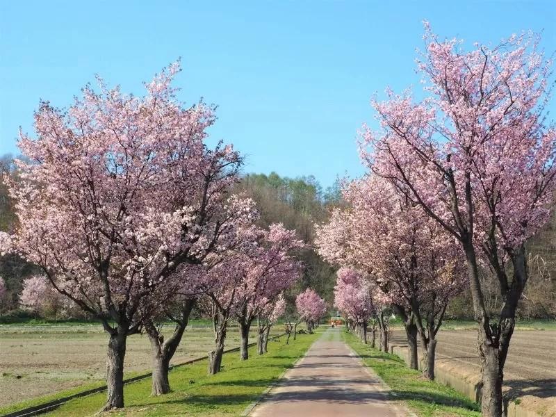 ⑥【三笠市】岡山千本桜の桜情報