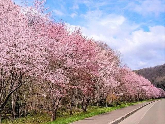 【富良野市】麓郷街道桜並木の桜情報