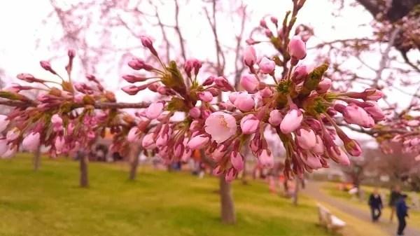 森町5月1日の桜状況