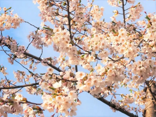 【美唄市】東明公園の桜情報