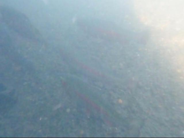 極寒1月の湿原河川!ワイルドレインボー、水中撮影に成功!!!