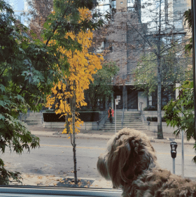 downtown vancouver window cockapoo