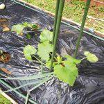 20200320‐家庭菜園-ズッキーニ