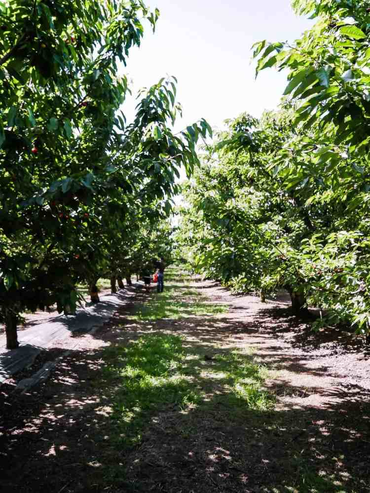 Cherry orchard in Brentwood, California as part of a guide to u-pick cherries in the Bay Area.