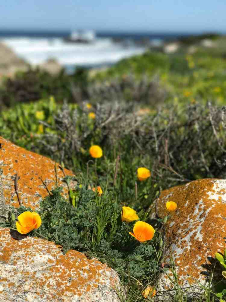 Orange flowers growing out of rocks on the coast near the Pebble Beach Food & Wine.