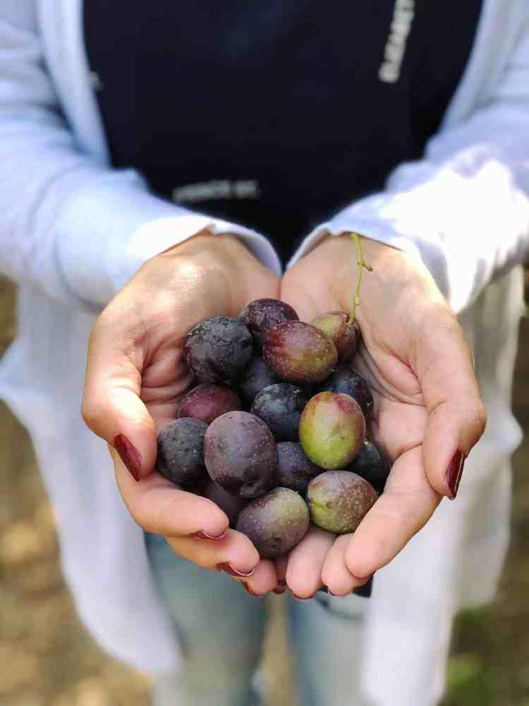 Handful of fresh California olives.
