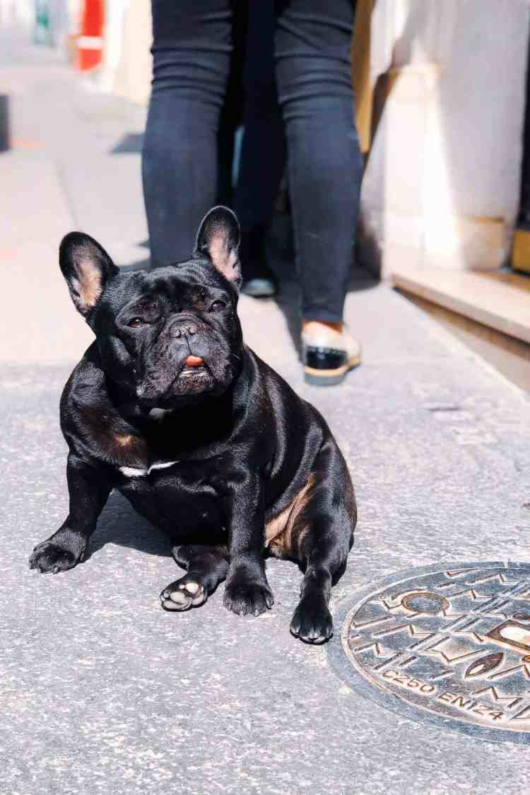 French bulldog in Paris, France