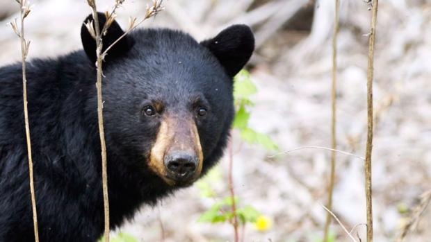 A black bear roams the forest