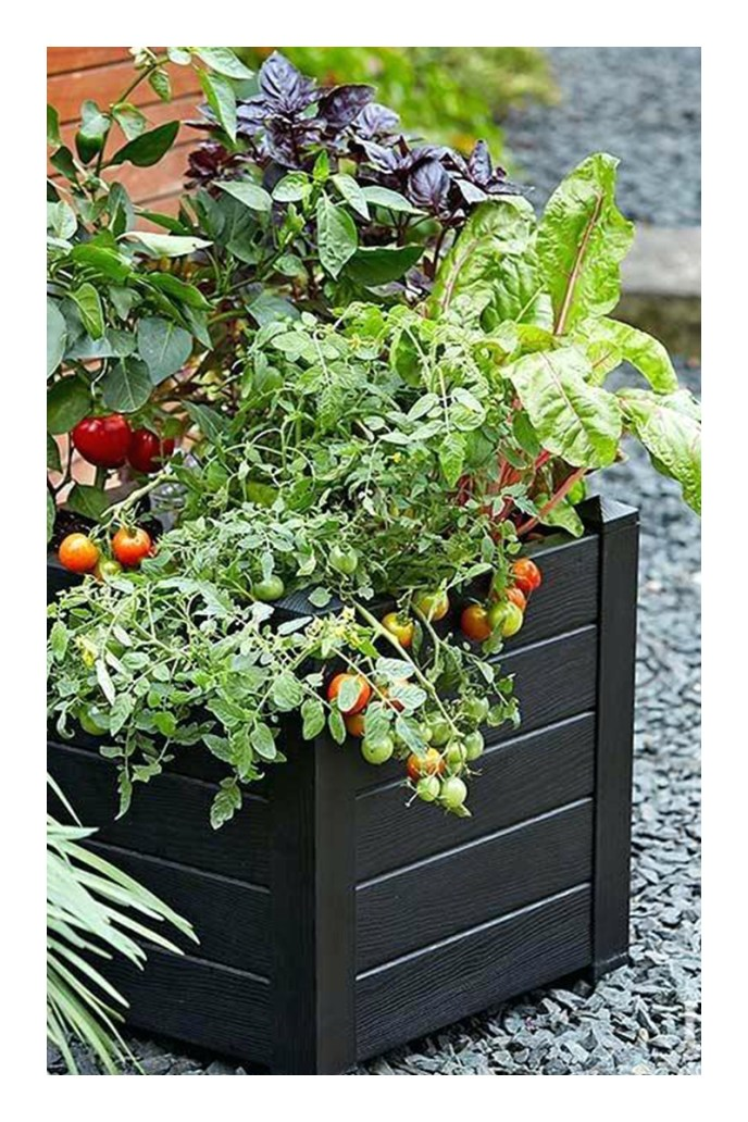 tomatoes growing in pots
