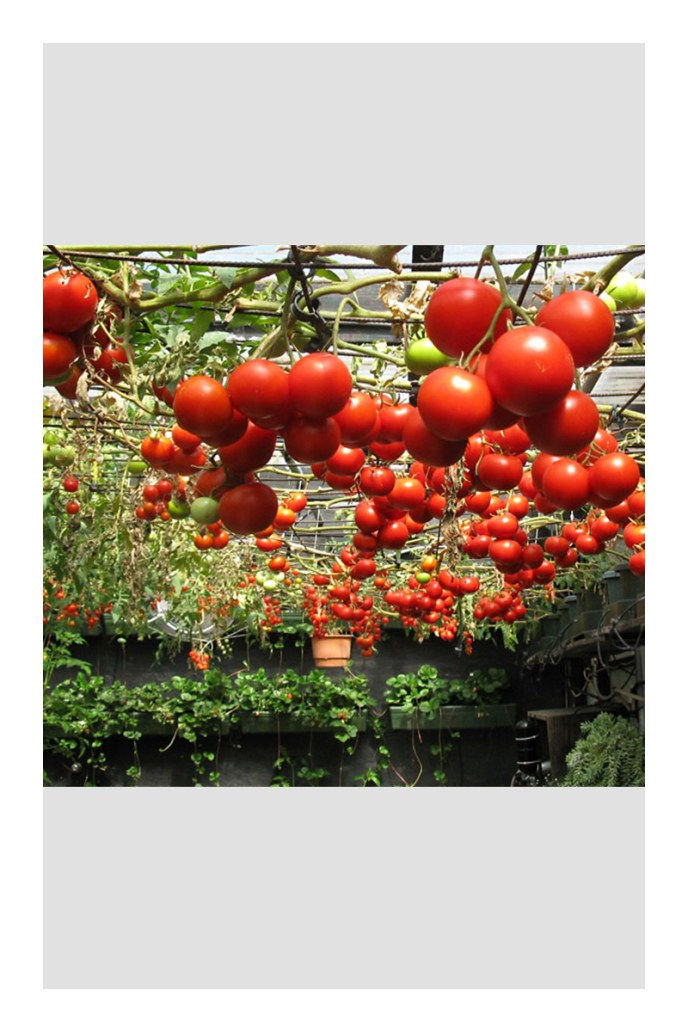 growing tomatoes in small pots