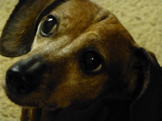 Closeup headshot of a red dachshund