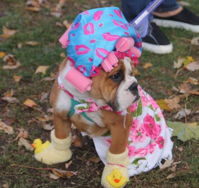 A bulldog dressed in a shower cap.