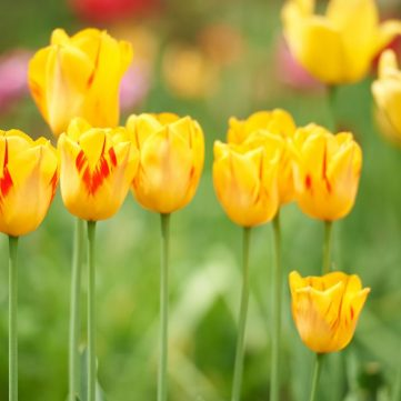 Kitchissippi tulips shot on May 23. Photo by Ellen Bond.
