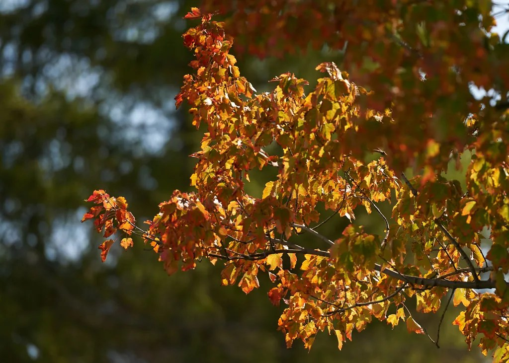 A brightly lit tree with orange and red leaves