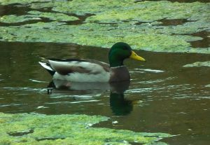 One of the few ducks I can ID: a mallard.  Photo by Kurt Fristrup.