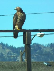 This red-tailed hawk lives in my neighborhood.  Photo by Kurt Fristrup