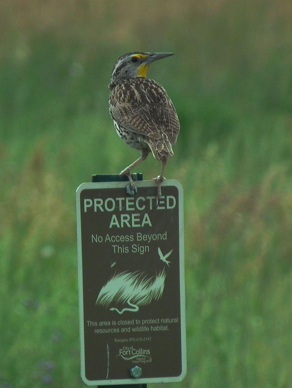 Western Meadowlark, feeling safe.
