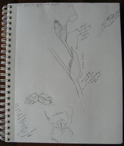 Some of my iris sketches