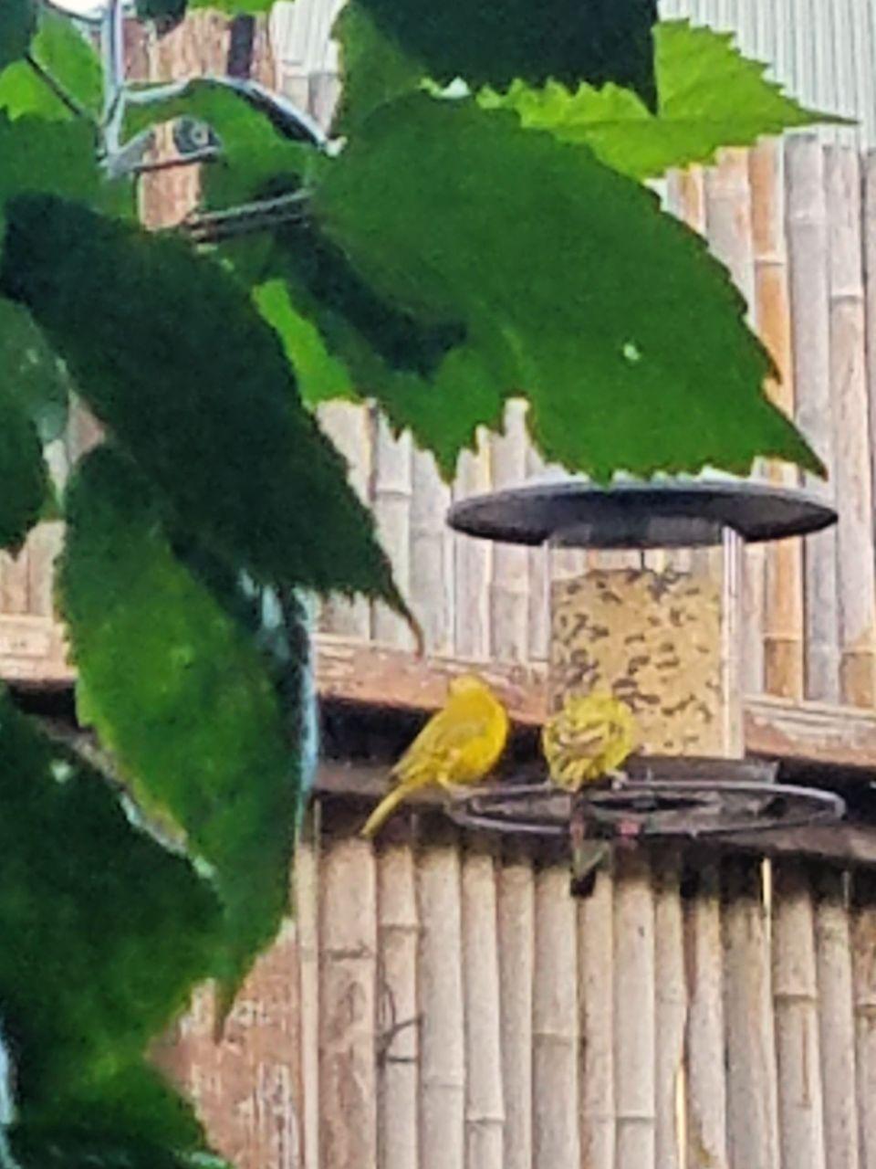 Saffron Finches at a feeder