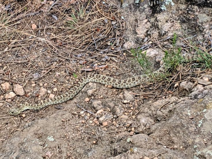 Rattlesnake on edge of trail; photo by Kit Dunsmore