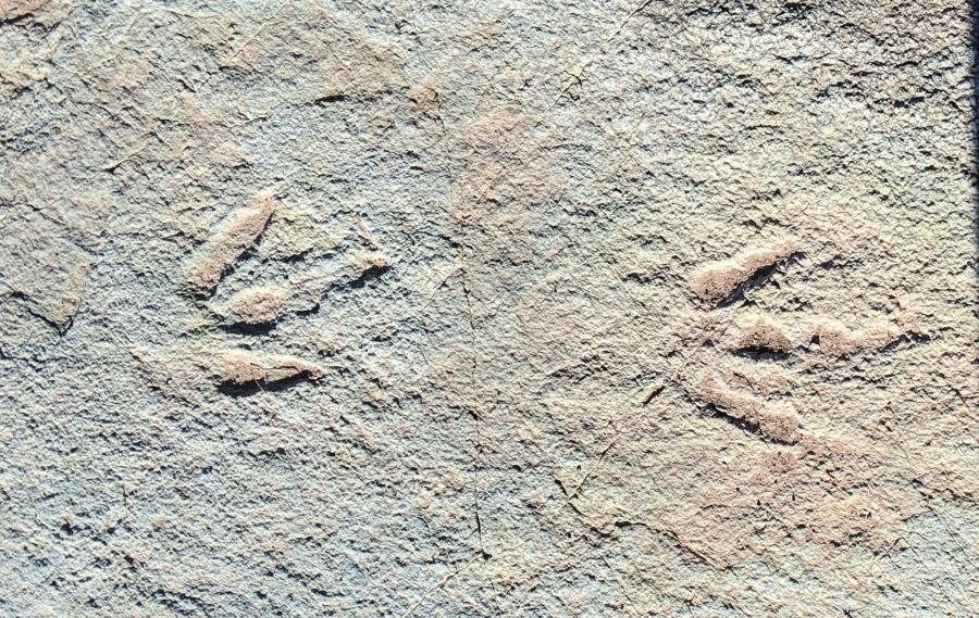 Two medium-sized fossilized three-toed theropod prints from the tracksite in Mill Canyon (Moab, UT). Photo by Kit Dunsmore