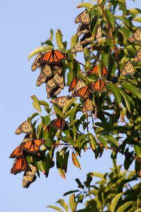 monarch-tree