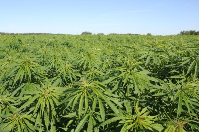 File: A field of industrial hemp plants. (Flickr / Marcia O'Connor)