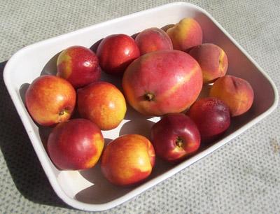 stonefruitinsun