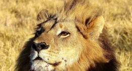Wow, A 'Gender Fluid' Lioness, Who Looks, Acts And Roars Like a Male, Discovered in Africa