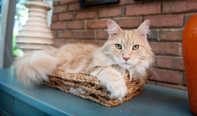 Cute Orange Kittens Wallpaper 20 Things Only Maine Coon Cat Owners Would Understand
