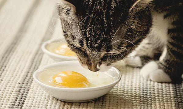 Can Cats Eat Eggs Heres the Full Answer