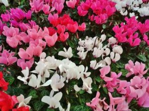 cyclamen flower poisonous plant for cats