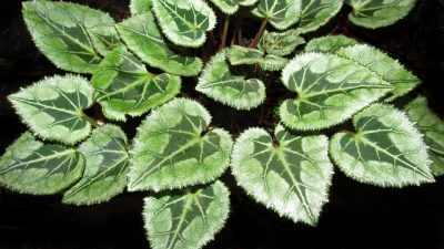 cyclamen-leaves poisonous plant for cats